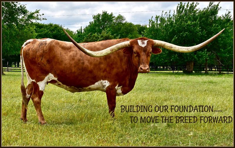 3p longhorn ranch raises registered texas longhorns in whitewright tx